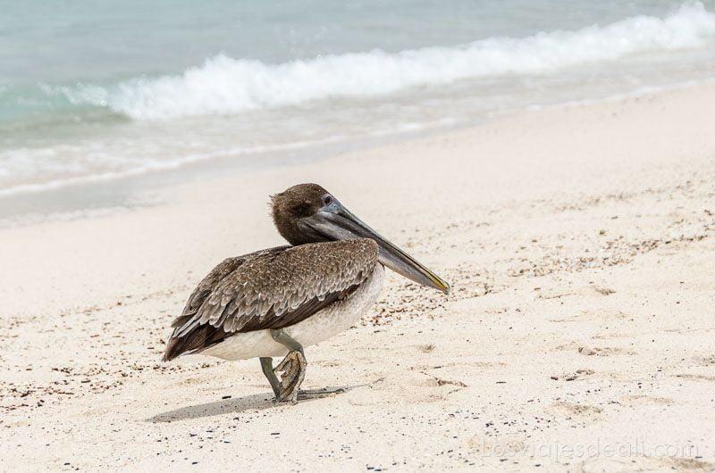 fauna y flora de las islas galápagos pelicano