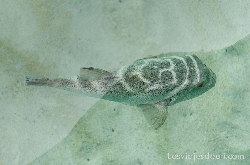 fauna y flora de galapagos pez globo