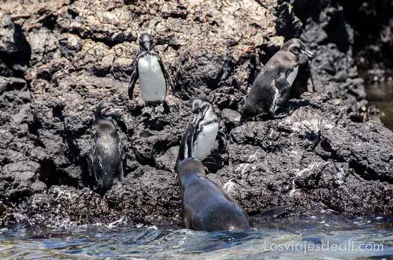 fauna y flora de las islas galápagos pinguinos