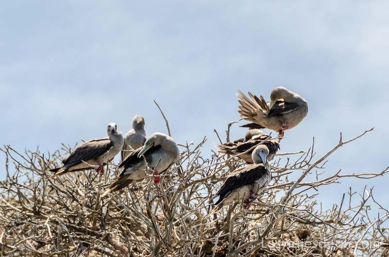 fauna y flora de las islas galápagos piqueros patas rojas