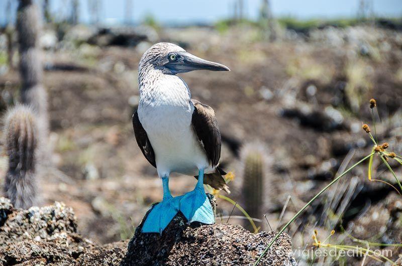 fauna y flora de las islas galápagos piquero patas azules