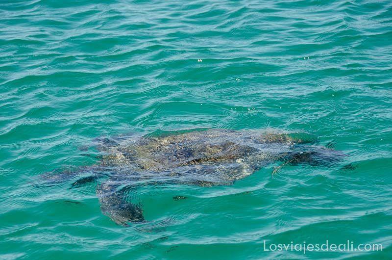 fauna y flora de las islas galápagos tortuga marina