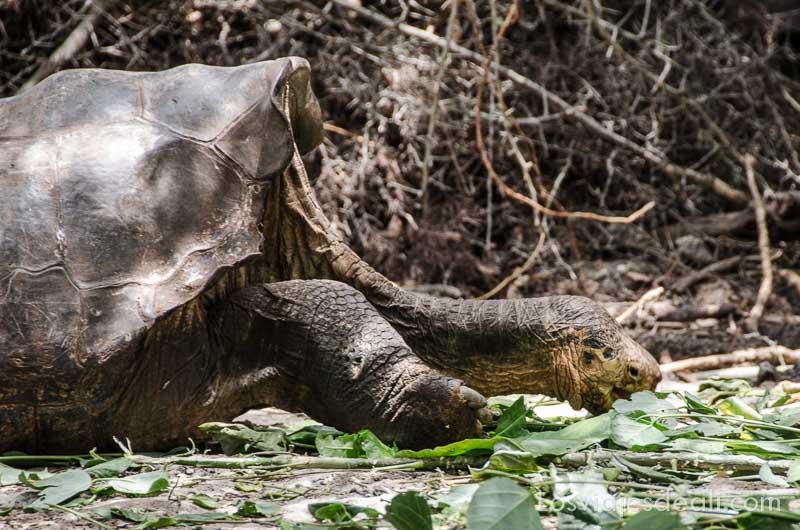 fauna y flora de las islas galápagos tortuga