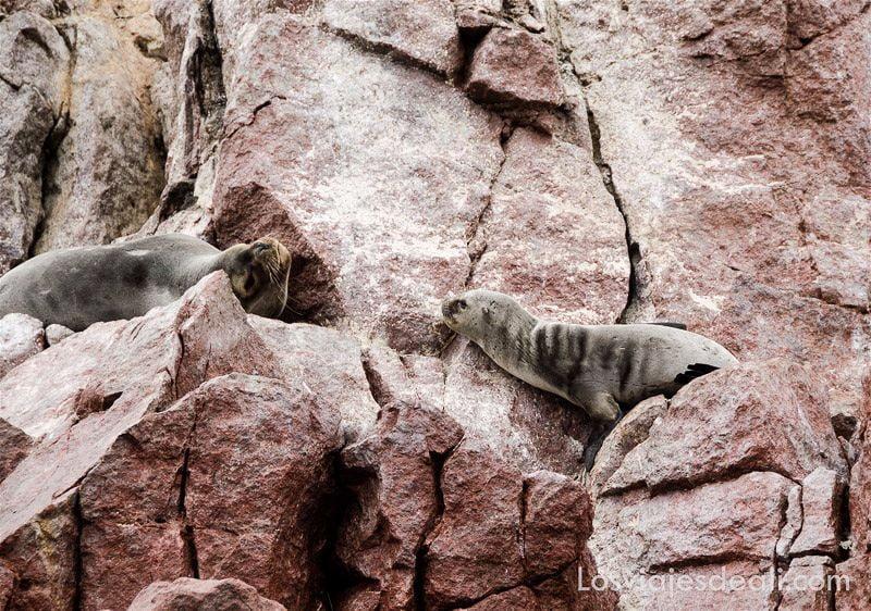 leones marinos en islas ballestas