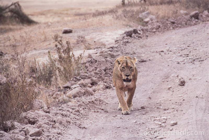 cráter de Ngorongoro leona