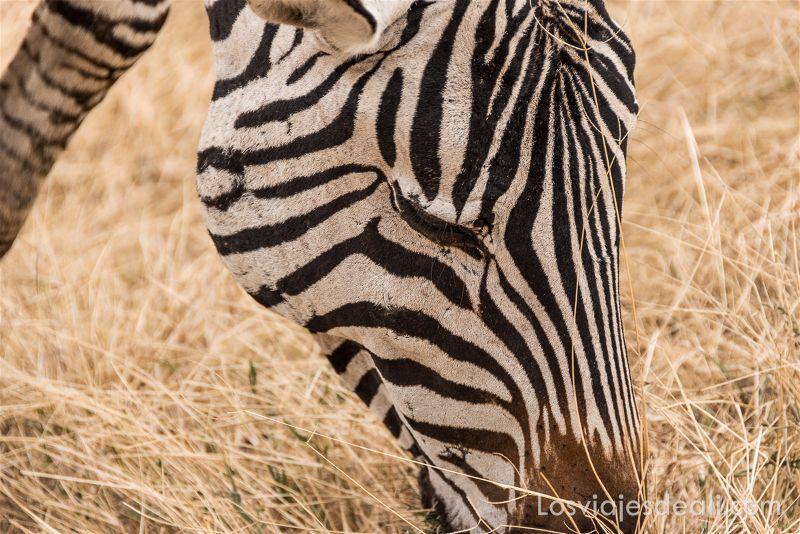 imagenes y sensaciones de Kenia y Tanzania cebra
