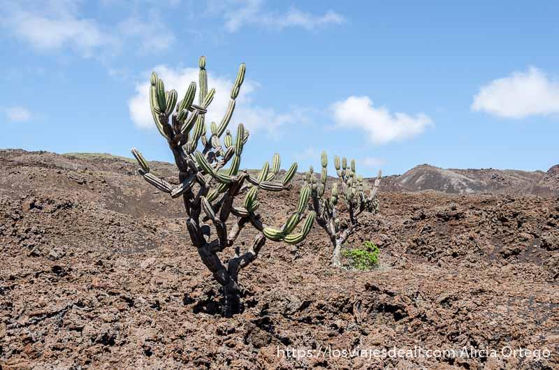 cactus candelabro en isla isabela