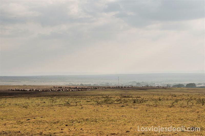 traslado de ganado en Masai Mara tribu Masai