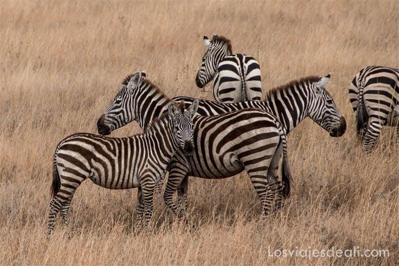 visita al parque nacional Serengueti cebras