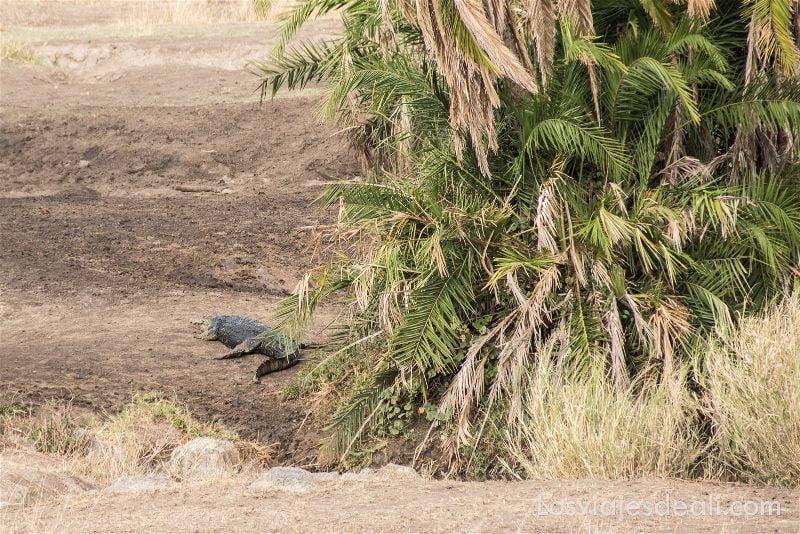 visita al parque nacional Serengueti cocodrilo