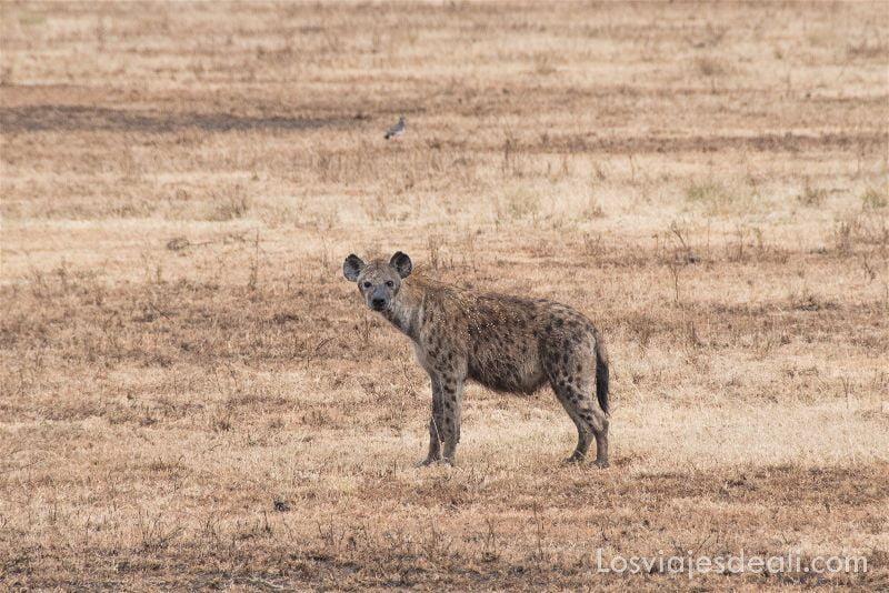 visita al parque nacional Serengueti hiena