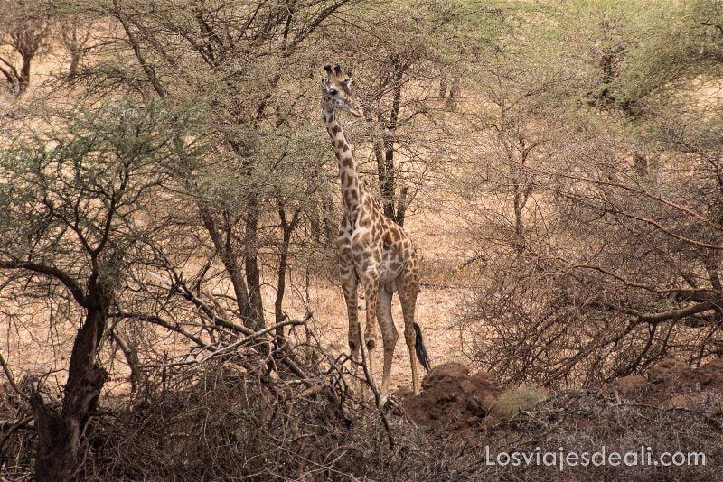 visita al parque nacional Serengueti jirafa