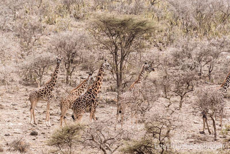 visita al parque nacional Serengueti jirafas