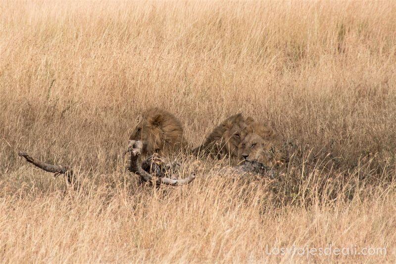 visita al parque nacional Serengueti leones