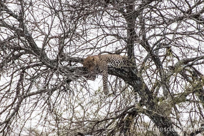 visita al parque nacional Serengueti leopardo