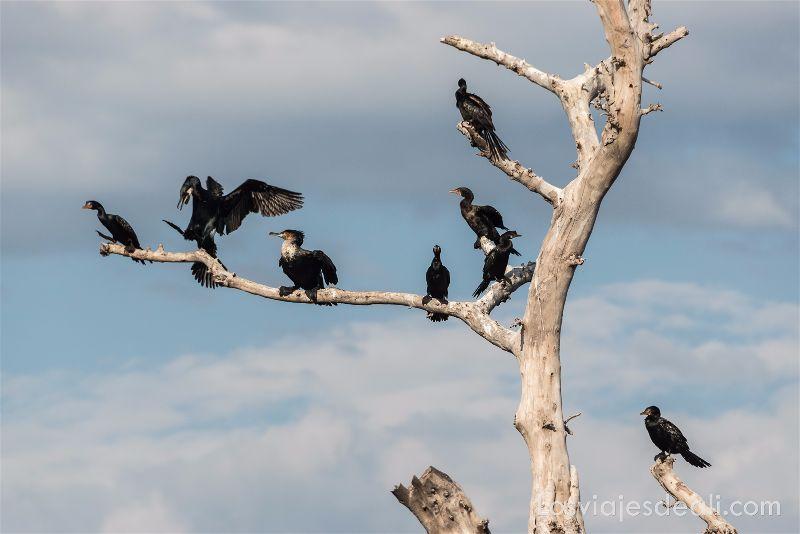 LAGO VICTORIA cormoranes