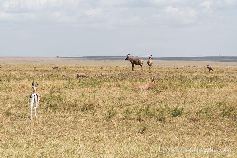 dos días en masai mara Kunantílope
