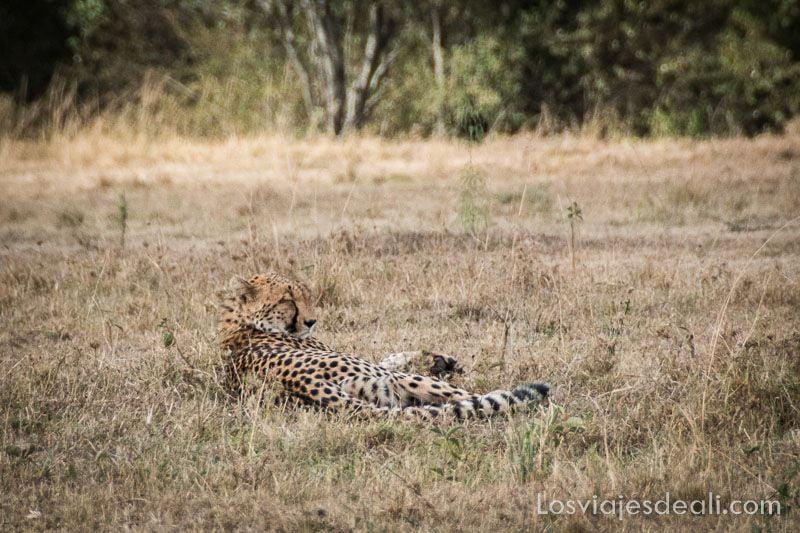 dos días en masai mara guepardo