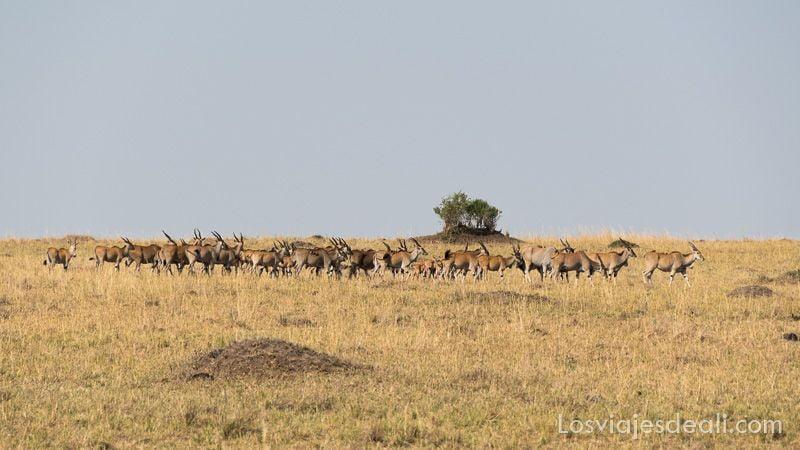 dos días en masai mara eland