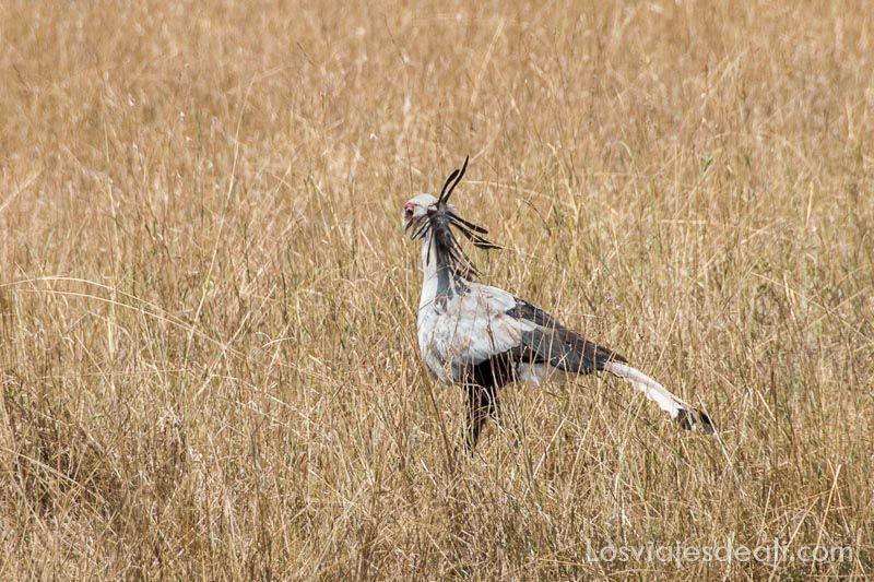 dos días en masai mara pájaro secretario
