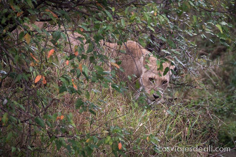 dos días en masai mara leona