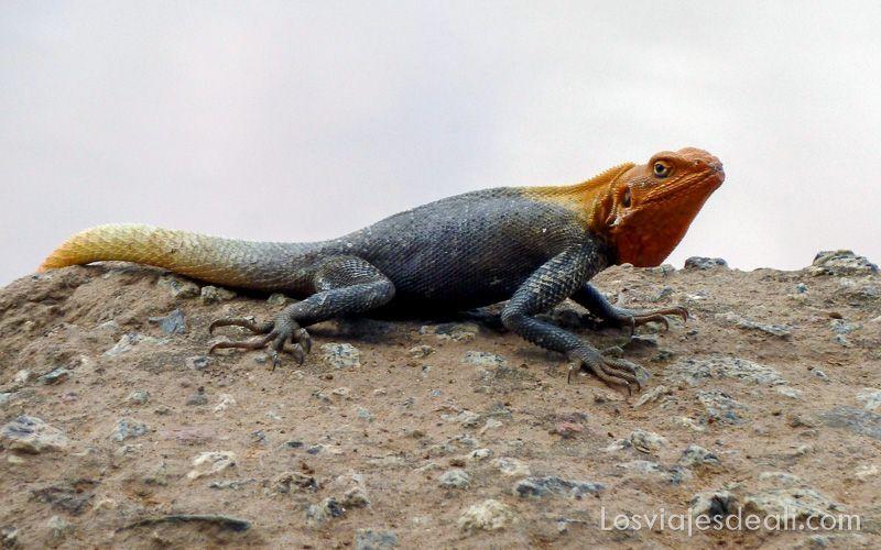 lagarto del Sahel