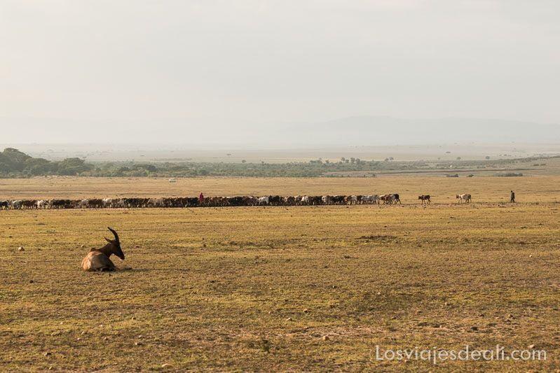 dos días en Masai Mara rebaños masai