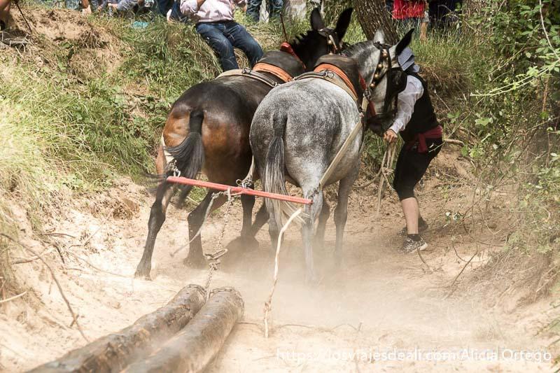 mulas llevando troncos y levantando polvo gancheros alto tajo