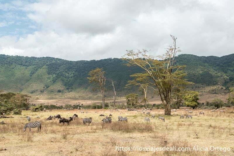 cebras y ñúes pastando bajo acacias amarillas en el cráter de ngorongoro