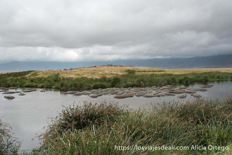 charca llena de hipopótamos en cráter de ngorongoro
