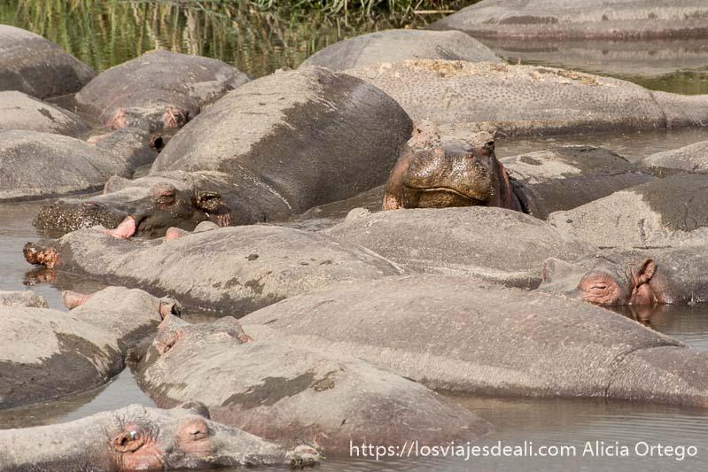 hipopótamos en el agua uno con la cabeza alzada en ngorongoro