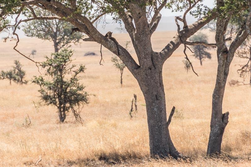 leopardo subido a rama de acacia en serengueti