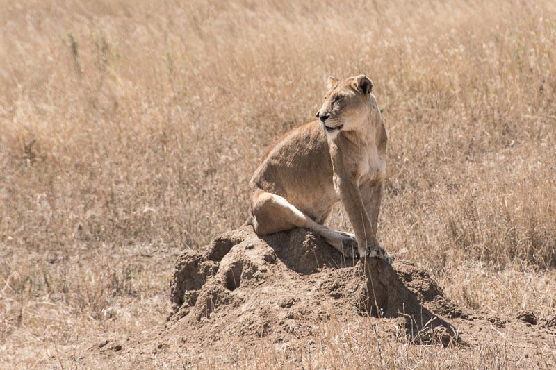 leona sentada en el serengueti