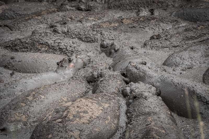 al menos 10 hipopótamos en charca cubiertos de barro serengueti