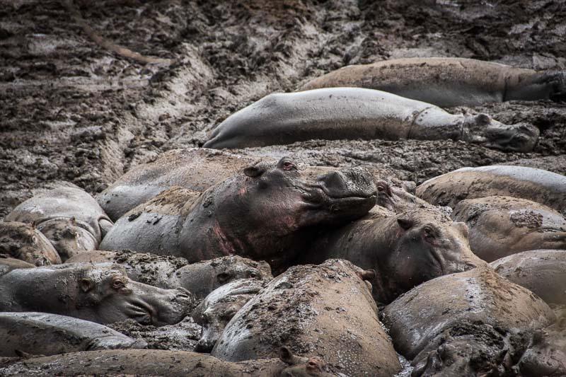 un hipopótamo saliendo por encima de los demás cubiertos de barro en serengueti