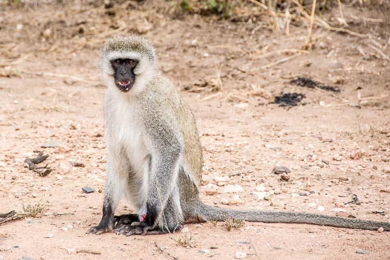 macaco de pelo gris claro y huevos azules en serengueti