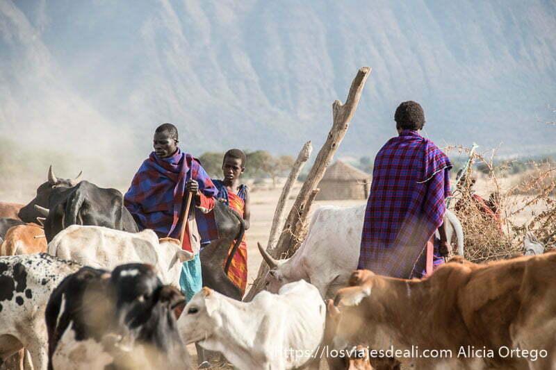 jóvenes de la tribu masai con sus vacas
