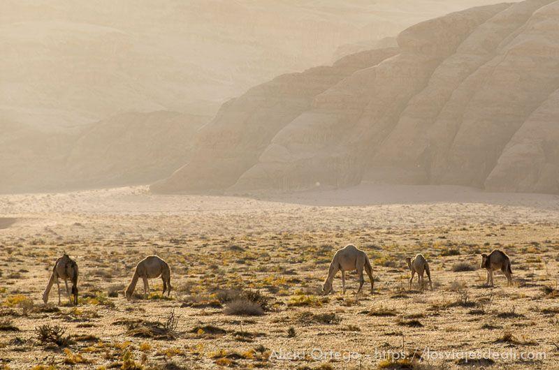 camellos en el desierto de wadi rum