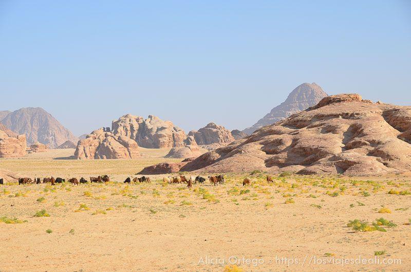 primavera en desierto de wadi rum