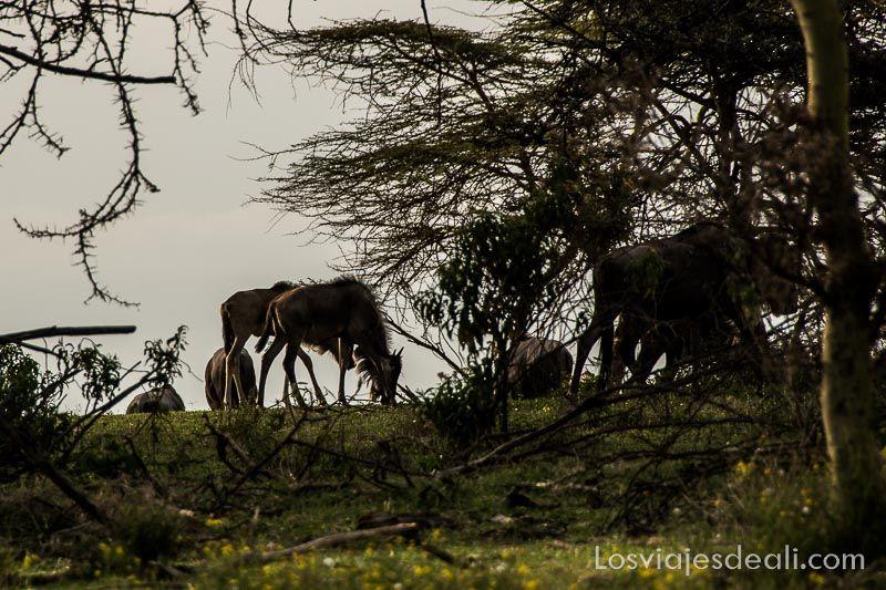 ñues en Crescent Island en Lago Naivasha