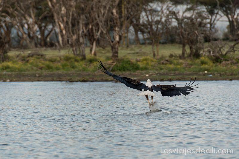 águila pescadora en el Lago Naivasha
