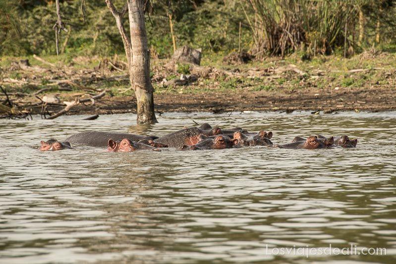 familia de hipopótamos en el Lago Naivasha