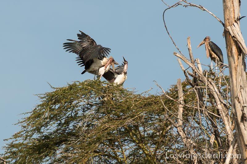 marabues en el Lago Naivasha