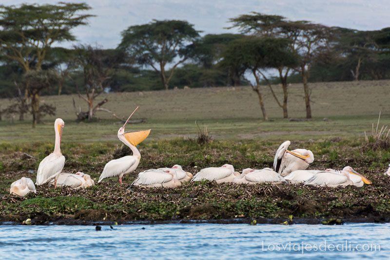 pelícanos en el lago naivasha de Kenia
