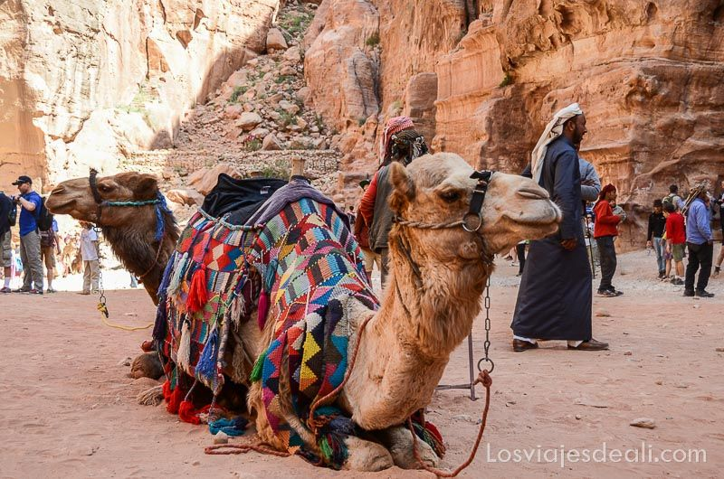 Petra camellos