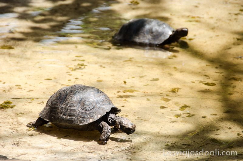isla santa cruz cria tortugas