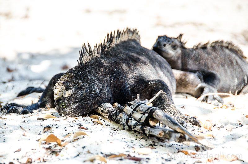 isla santa cruz iguanas en tortuga bay
