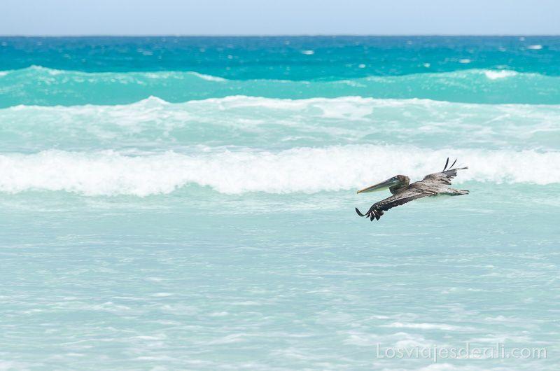 isla santa cruz pelicano en tortuga bay