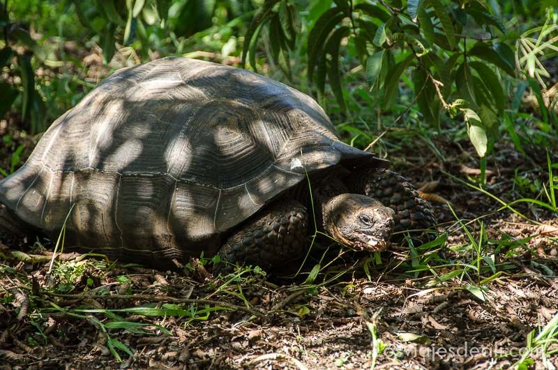 isla santa cruz rancho el chato tortugas