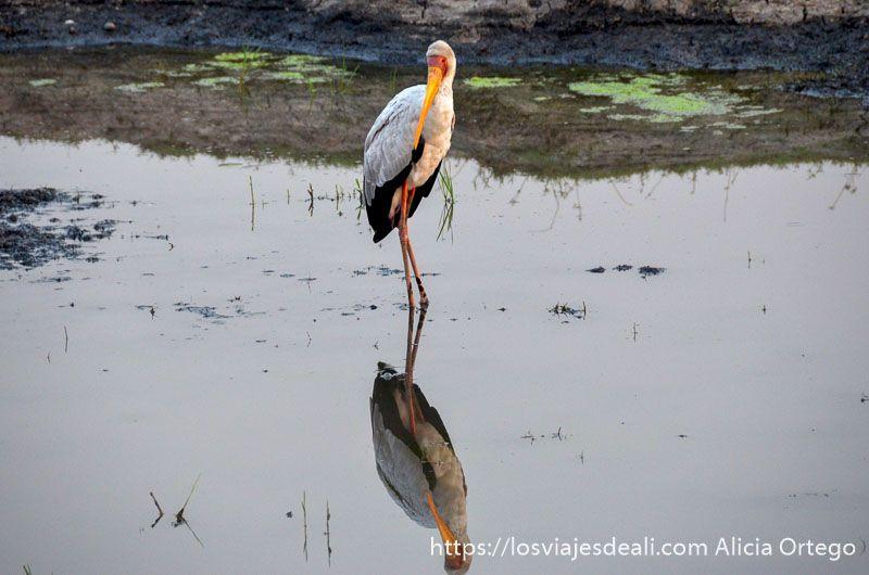 cigüeña africana en parque nacional de chobe
